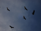 jacob and vultures 034.JPG