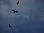 jacob and vultures 031.JPG