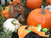 Our Fur Kids in the pumpkin Patch
