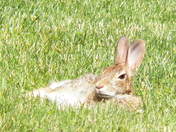 Bunny in the Yard