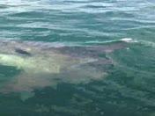 Ocean Sunfish, Not a shark