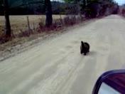 Runaway porcupine
