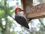 Red Bellied Wood Pecker