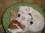 Prudence and Lily Moon~English Bulldogs
