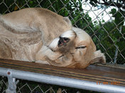 Lilly, Sleeping Florida Panther