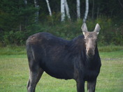 Moose at Lily Bay in Moosehead