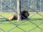 Lion@.jpg
