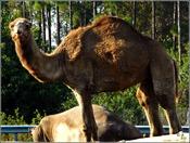 Camel and Rhino@.jpg