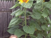 Ava's Sunflowers