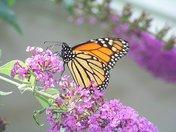 butterfly on bush.jpg