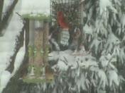 Cardinal Pair in Waynesboro