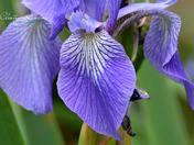 Northern Blue Flag Iris