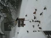 fiddle dancing birds in blizzard