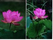 Lotus   sunshine.jpg