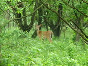Farmingdale Deer