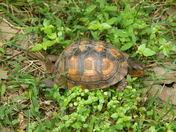 Backyard Turtle