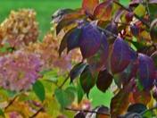 Fall colors...burning bush/limelight hydrangeas
