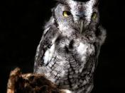 Dramatic Screech Owl
