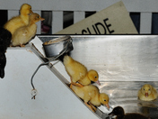 Chicks playing