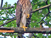 Backyard Hawk