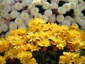 Yellow/white mums