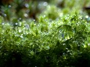 Dew on the Moss
