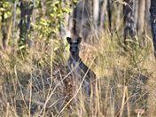 Roo in the Bush
