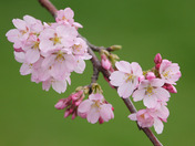 Cherry Blossoms In The Back Yard.