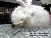 Winston Churchill Rabbit