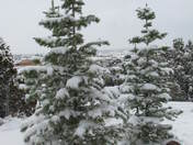 Spring snow on pines.JPG