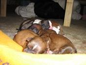 Tinkerbell 2nd Litter of 8 Pups