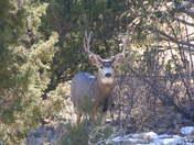 mule deer in Cimarron NM