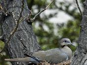 Waiting Dove