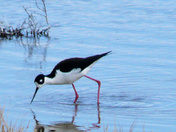 Belen-Marsh---Black-necked-.jpg