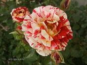 Roses 2009 007.jpg