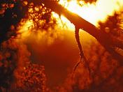 Sunset through the Pinon