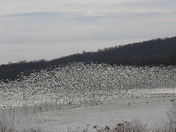 Snow Geese at Middle Creek