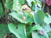 pumpkin spider in shawnee oklahoma