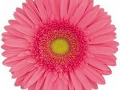 Light_Pink_Gerber_Daisy_Fresh_%20Flower_250.jpg