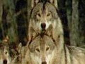 wolfpack120x120.jpg