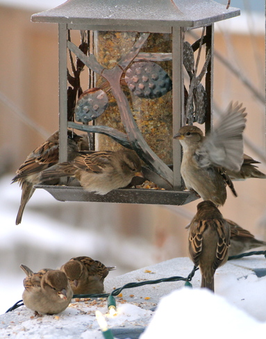 House Sparrows Dalmeny, Saskatchewan Canada