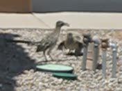 Road Runner Youngsters beg to be fed