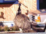 LOST  EMU