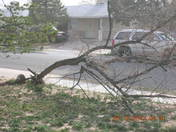 Tree in my front yard