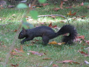 A Black Squirrel in Ohio, they are 1 in 10,000