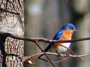 Choctaw Bluebird