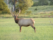 Elk at Ft. Sill