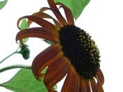 Sunflower on cloudy sky