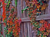 Alley Fence with Vines