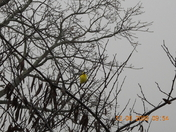 Confused American Goldfinch